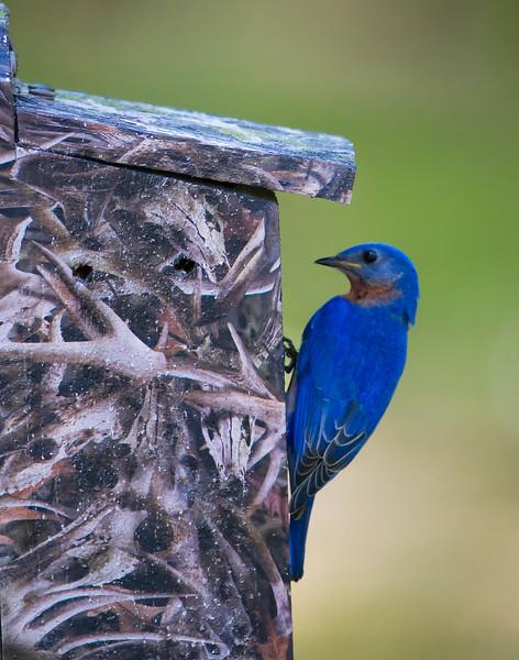 Blue Bird feeding the young