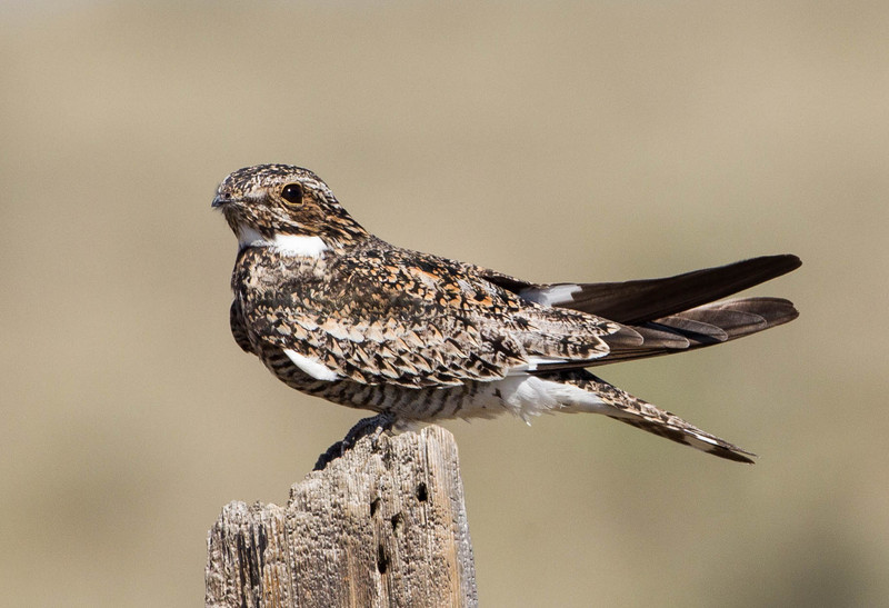 Common Nighthawk.