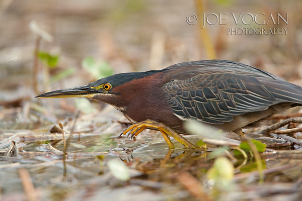 Green Heron, Viera Wetlands, Florida