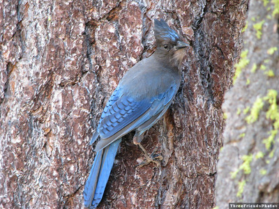 July - Steller's jay at Spooner Lake Trail Head and picknic ground