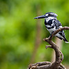 "Pied Kingfisher, Ranganathitu bird scentuary, Mysore ""India.<br /> Canon EOS 40D + Canon 400mm f/5.6L"