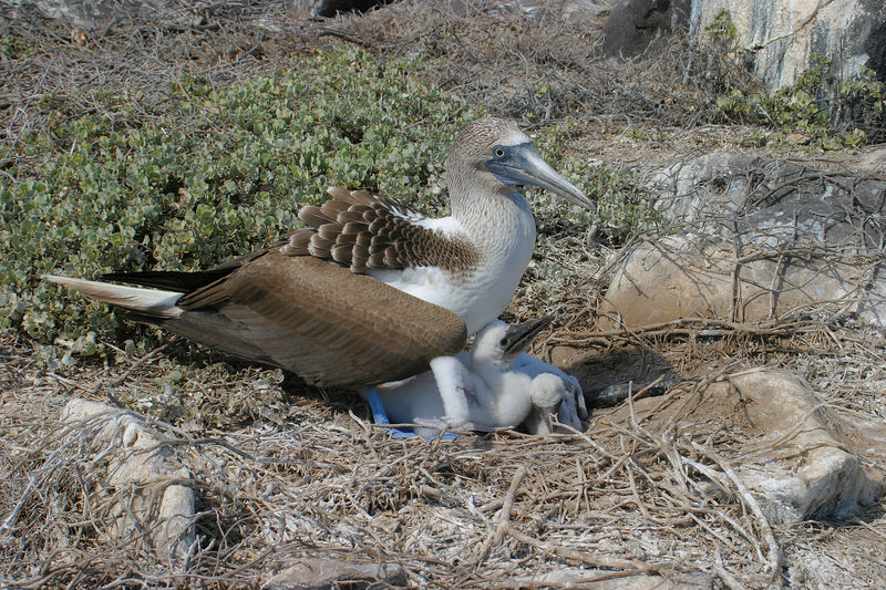 Blue footed booby with young<br /> Galapagos Islands National Park