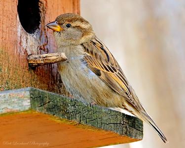 Sparrow in back yard.