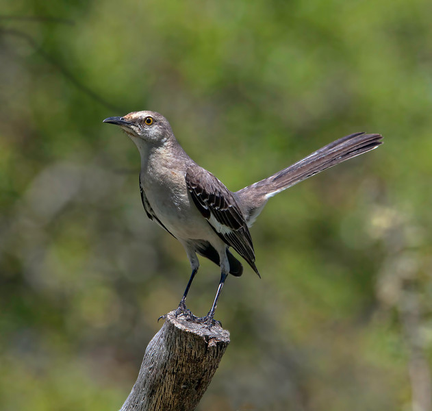 This mockingbird is awfully thin. Too bad he doesn't live close to me. My birds are all fat and sassy.