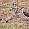 Straw-necked Ibis and Flock of Galahs