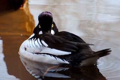 A common goldeneye.