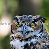 Great Horned Owl. Found from the Arctic tundra to the tropical rainforest, from the desert to suburban backyards, the Great Horned Owl is one of the most widespread and common owls in North America.