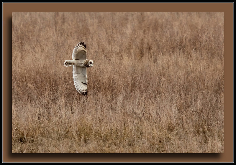 Short Eared Owl at Boundary Bay, Delta, B.C. (w/ Sigma 50-500, Bigma)