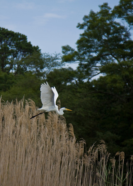Great Egret, Wertheim National Wildlife Preserve. 07/24/2011