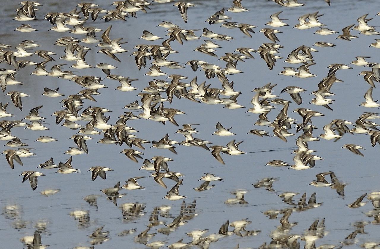 Flock of Ruffs