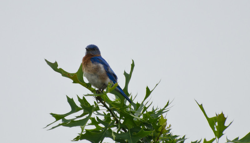 I'm still waiting to find the bluebird in good light. This will have to do for now.