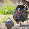 Wild Turkey<br /> Pleasanton, NM