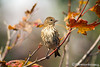 Pine Siskin in a VIne Maple