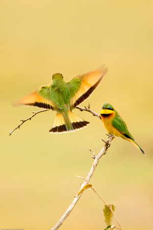 Little bee eater on the wing