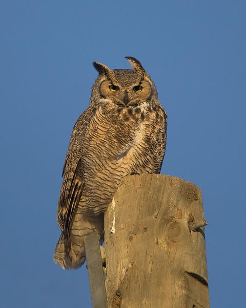 Great Horned Owl<br /> Edmonton, Alberta