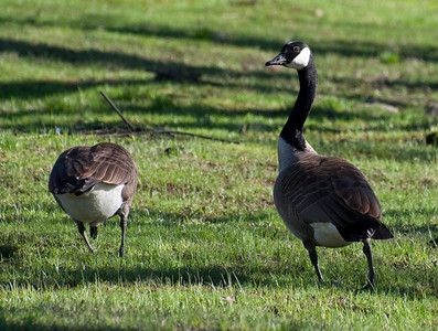 Canadian Geese at Minute Man NHP on 20100410