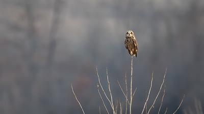 Short Ear Owl on a stick 9569-