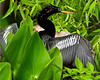 Male Anhinga in mating plumage -- neck crest feathers and blue eye surround -- at Wakulla Springs in Leon County, Florida