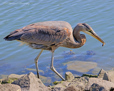 Great Blue Herron catches a fish. In Sunken Meadow State Park.