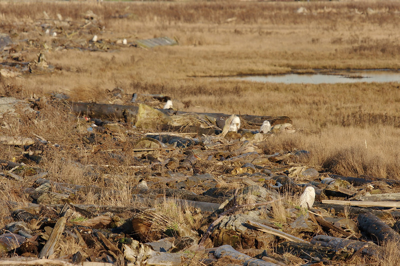 Snowy Owls (9) at Boundary Bay, Delta, BC