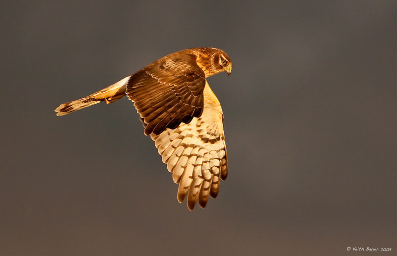 Northern Harrier 2 Against A Stormy Sky