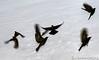 Blackbirds Rising