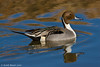 Northern Pintail - Bosque Del Apache