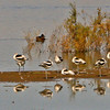 American Avocets resting
