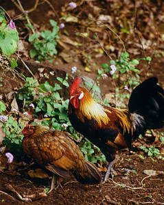 A Wild Chicken and Rooster