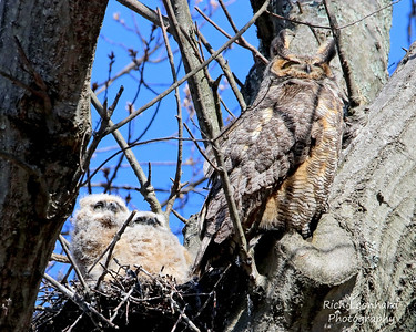 Great Horned Owl with two chicks in nest, Long Island, NY.