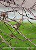 Female Wren with Nesting Material