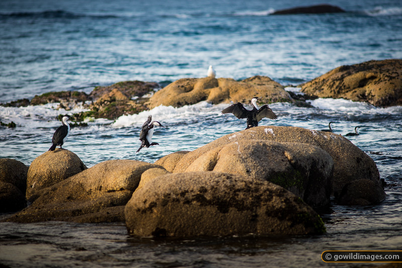 Cormorants, Pt Hicks
