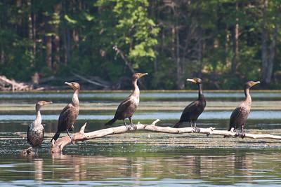 Cormorants at Nashua River (MA) on 20100702