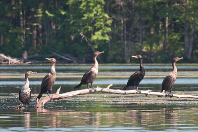 Cormorants at Nashua River (MA) on 20100702