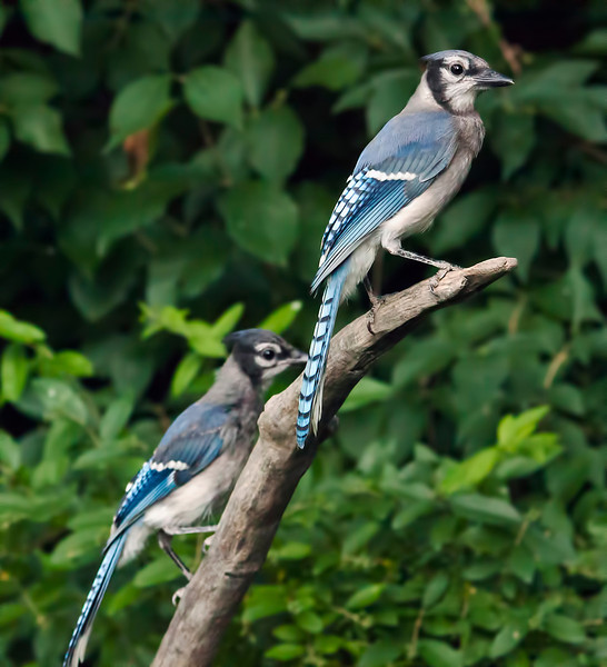 The blue jay at the bottom is a young bird, just hatched this spring. i'm guessing, but I think the top bird is his mamma. She is always with him when he visits my feeder. 6.16.12