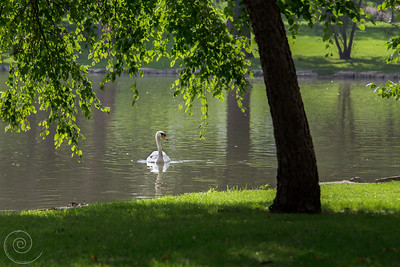 Swan at the Prairie Center for the Arts, Schaumburg, Illinois