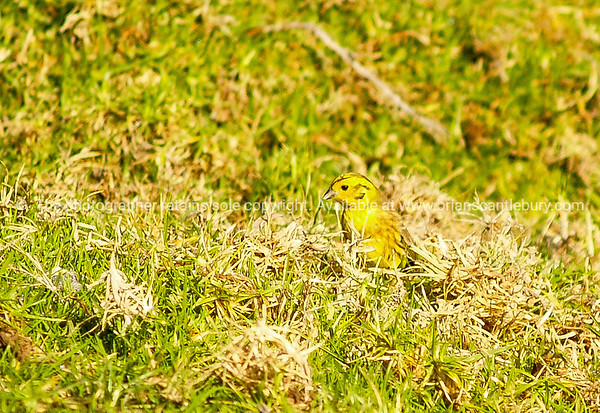 Yellow Hammer in grass on Mount Maunganui, New Zealand.
