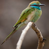 "Bee Eater, Dhofar ""Oman""<br /> Canon EOS 40d + Canon 500mm f/4L. الوروار"