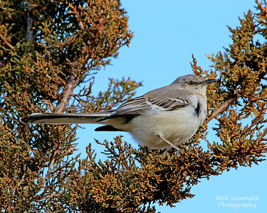 Mocking Bird at Sunken Meadow State Park, NY.