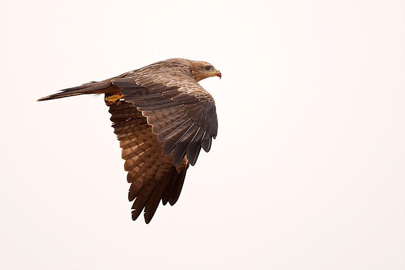 "Kite inflight, Canon EOS 40D + Canon 500mm f/4L lens.<br /> Dhofar ""Oman"""