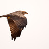 "Kite inflight, Canon EOS 40D + Canon 500mm f/4L lens.<br /> Dhofar ""Oman"""