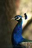 5365-Peacock-web