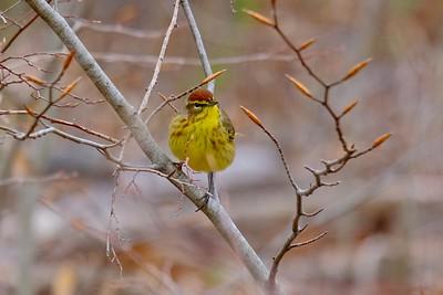 Palm Warbler - Setophaga palmarum, breeding adult.