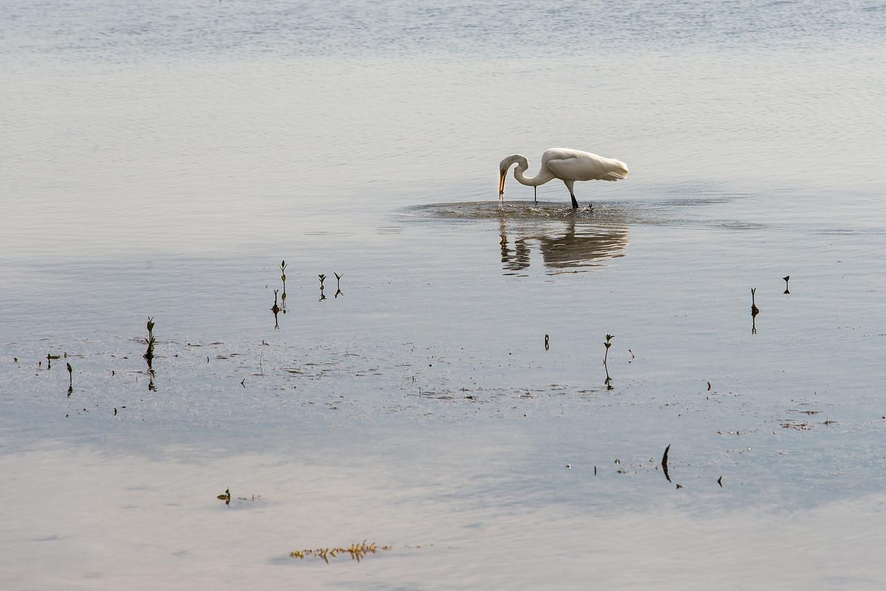 White Heron at Long Key State Park, Florida - December 2013