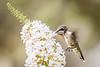 hummingbird in flight w flower 2389-