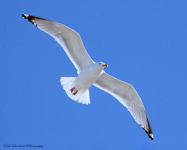 Seagull at Jones Beach State Park,NY.