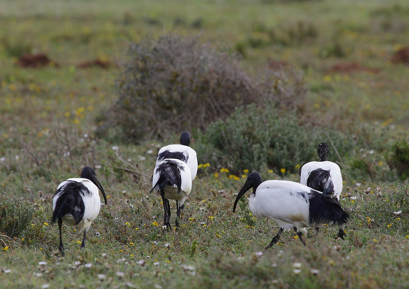 Sacred Ibis, Western Cape, South Africa
