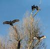 Sunning Vultures