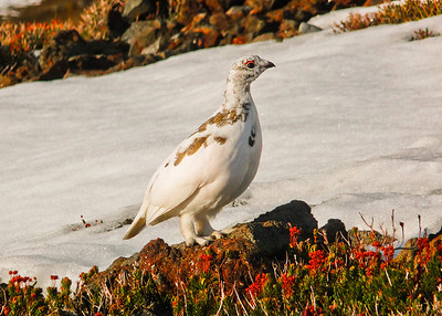 Ptarmigan - winter plumage