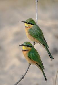 Little Bee Eater | Botswana